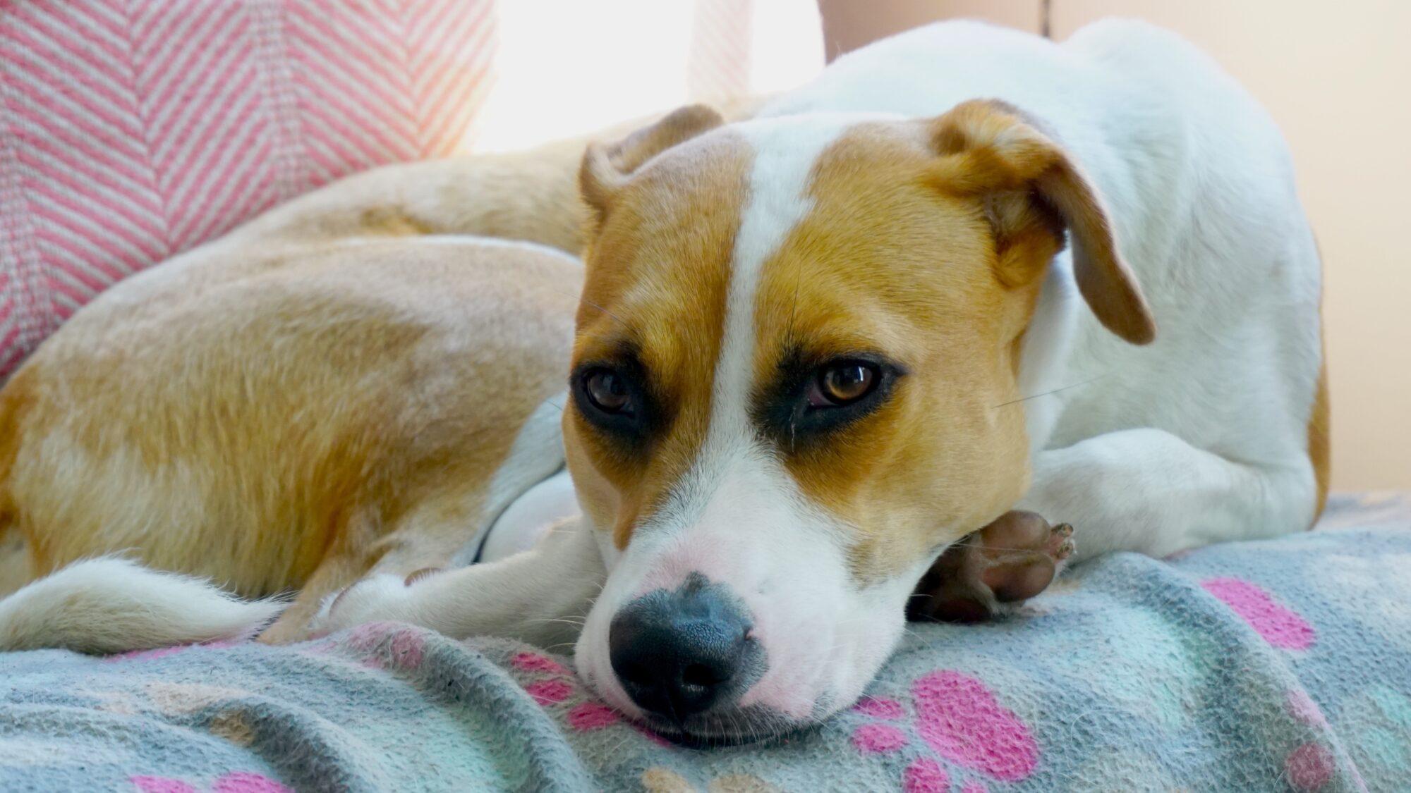 Hundetæppe – et must for hundeejeren